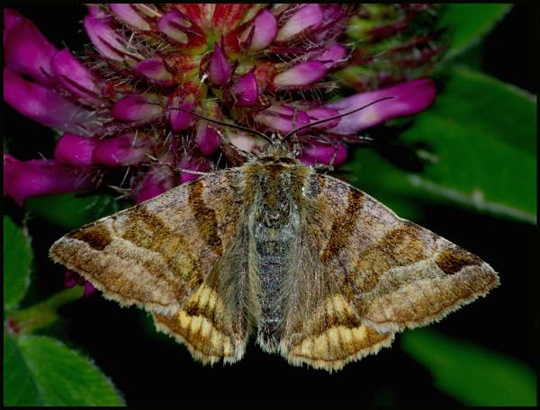 Burnet Companion Moth..