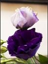 Purple by marshfam19