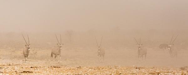 Gemsbok in dust storm. by rontear