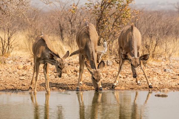 Kudu at Waterhole Namibia. by rontear