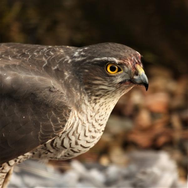 Sparrowhawk portrait by Cowser