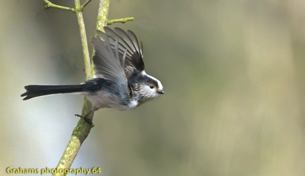 A Long Tailed Tit in Flight by p147180r