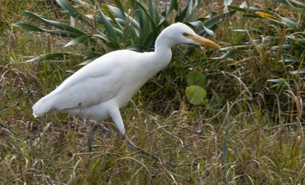 Little Egret (Egretta garzetta) stalking prey. by ajhollingbery