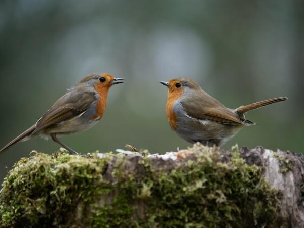 Robin Love