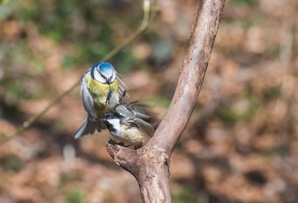 sparrowhawk wannabe by brrttpaul