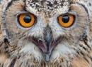 Owl Close Up by carper123