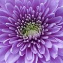 Mauve Chrysanthemum by deavilin