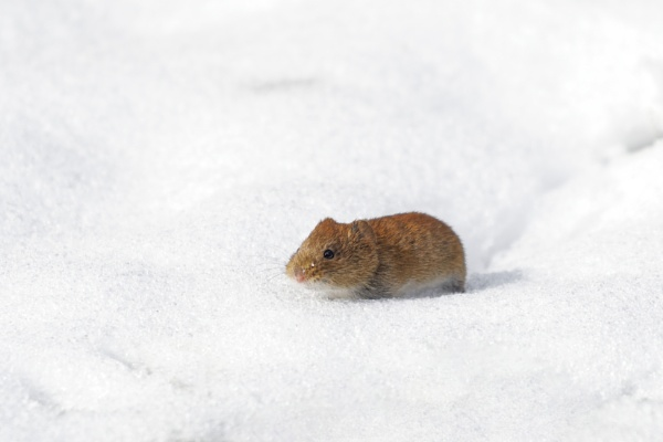 Bank Vole by Wanilson