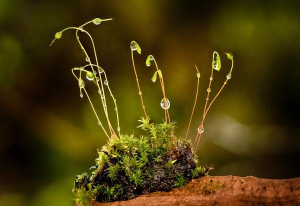 Moss Sporophytes 2