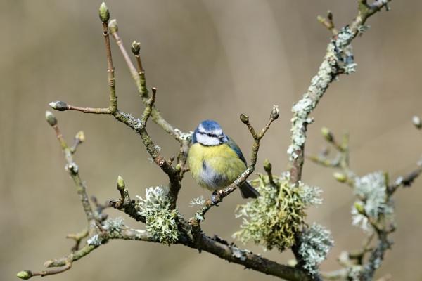 Bluetit at Blashford Woodland hide by Wild_Pic