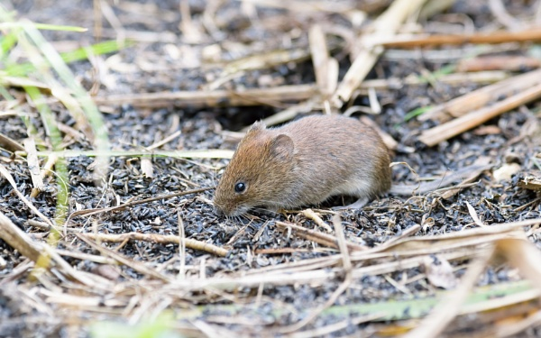 Bank Vole by Wild_Pic