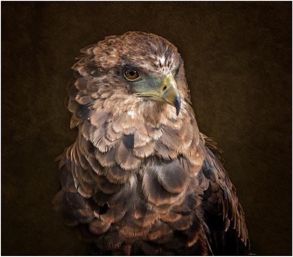 Juvenile Bateleur Eagle by Somerled7