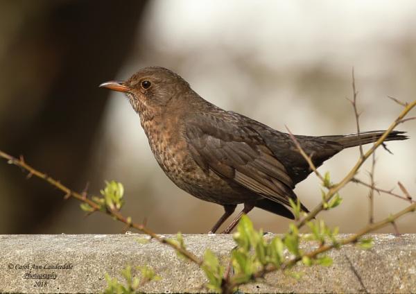 Mrs Blackbird by canoncarol