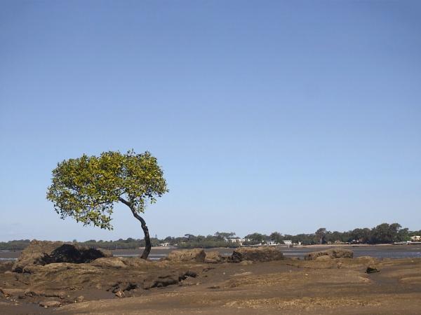 Small Mangrove Tree