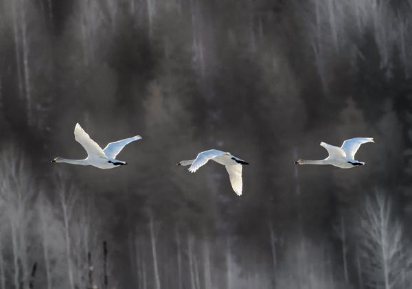 Whooper swans 3 in Vanjärvi by hannukon