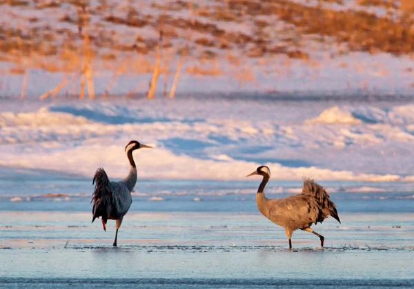 Common cranes in Vanjärvi by hannukon
