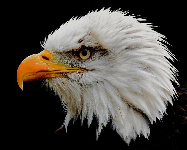 Bald eagle  ( Haliaeetus leucocephalus) by Glenn1487