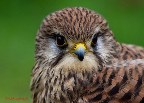 Eurasian kestrel (  Falco tinnunculus ) by Glenn1487