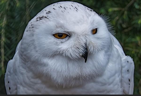 Snowy Owl by Vincemc