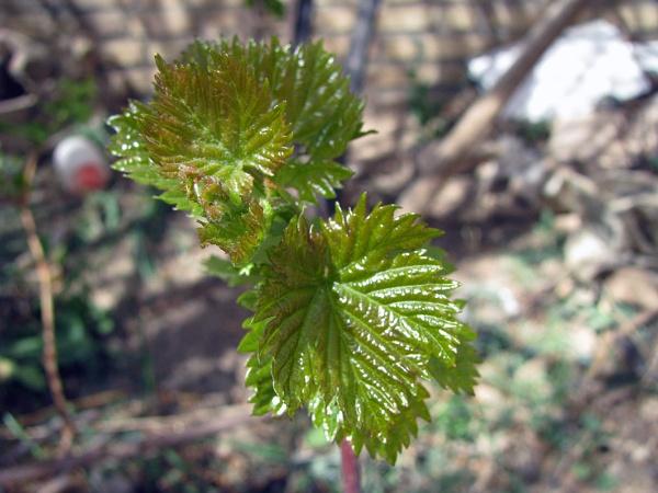 Grape leaves by nkargar1356