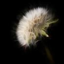 Dandelion by cattyal