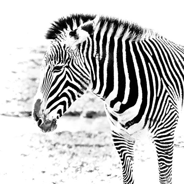 Grevy Zebra by martin174