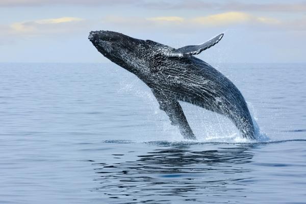 Breaching Hump Back Whale by SueLeonard
