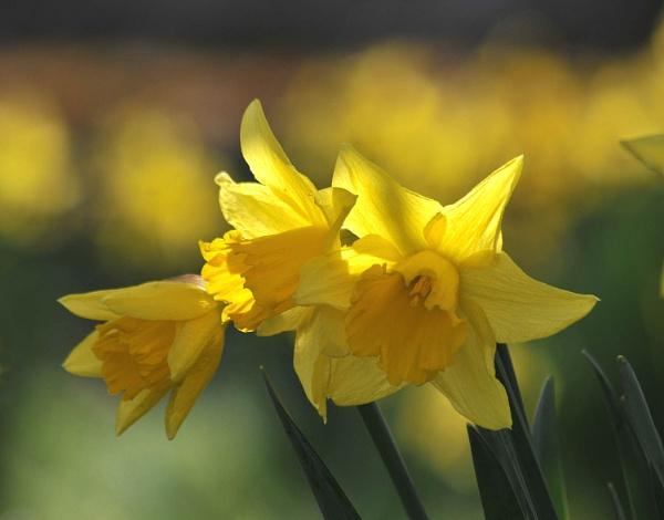 Daffodils by viscostatic