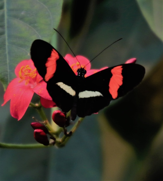 A butterfly of the Heliconiidae family by agednovice