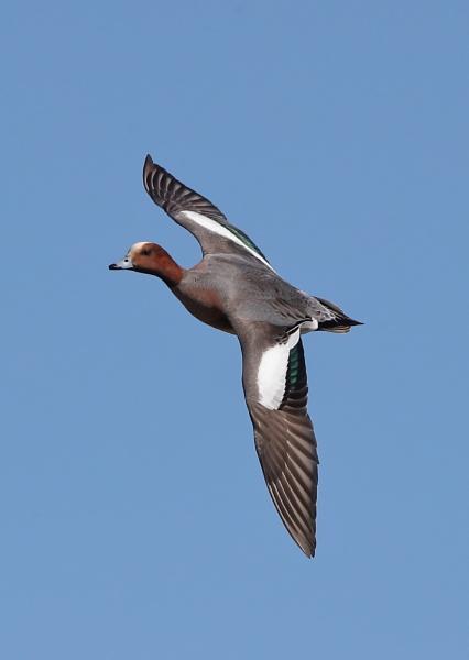 Pochard in Flight by NeilSchofield