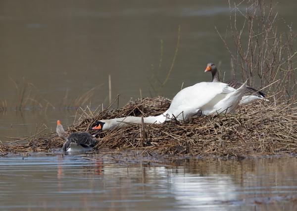 Swan and Greylag