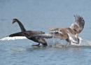 Black Swan v Greylags by NeilSchofield