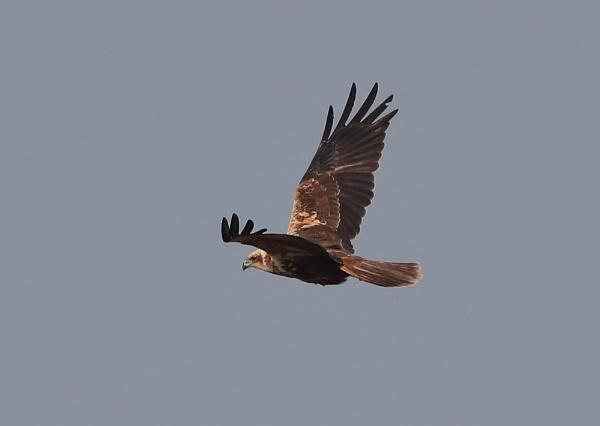 Female Marsh Harrier in Flight