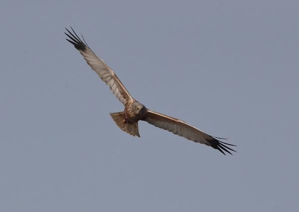 Marsh Harriers in Flight by NeilSchofield