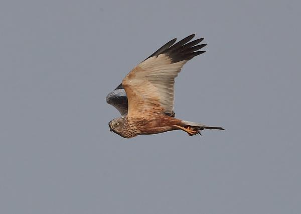 Marsh Harrier With Prey