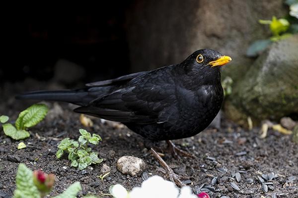 Blackbird by shaver