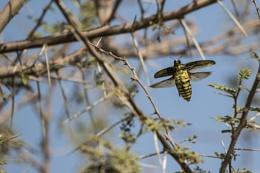 Big flying bug