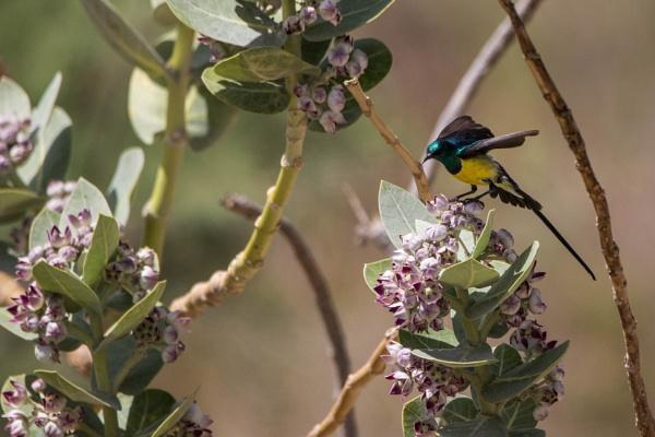 Nile Valley Sunbird by WorldInFocus