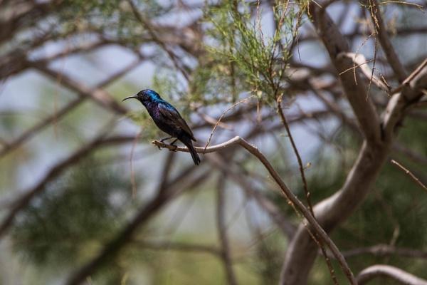 Palestine Sunbird by WorldInFocus
