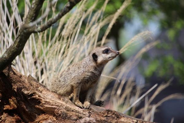 Meerkat by Beth22