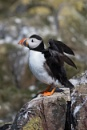 Puffin (Fratercula Arctica) by Ray_Seagrove