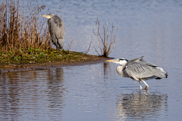 Grey Heron (Ardea cinerea) Walking in the Water by Phil_Bird