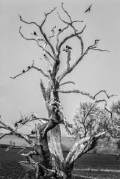 The Crow Tree