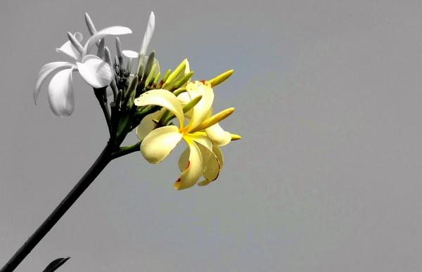 """"""" OLEANDER FLOWERS """""""