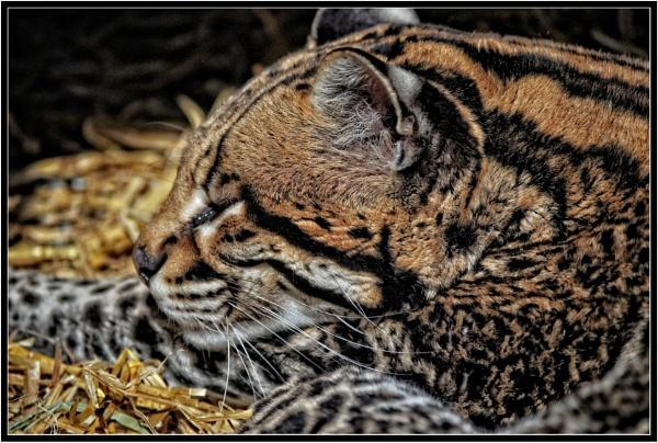 Sleeping Ocelot by PhilT2