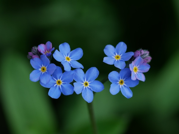 Forget-me-nots ?