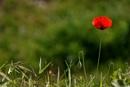 Spring poppy by georgiepoolie