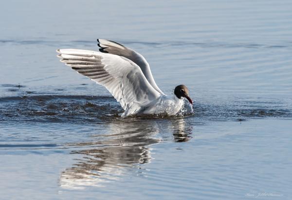 Seagull landing. by kuvailija