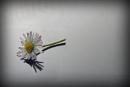 Wild daisy by deavilin