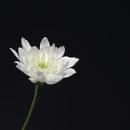 Chrysanthemum all lit up by deavilin